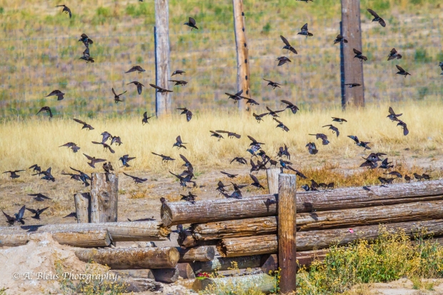 Flock of Birds, Colorado_93E3132