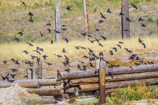 Flock of Birds, Colorado_93E3132