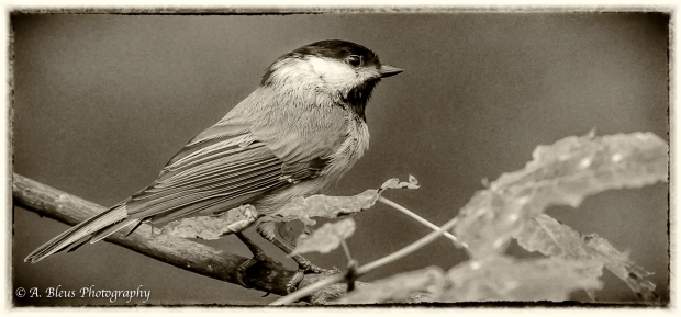 Perched Black-capped Chicadee in Monochrome