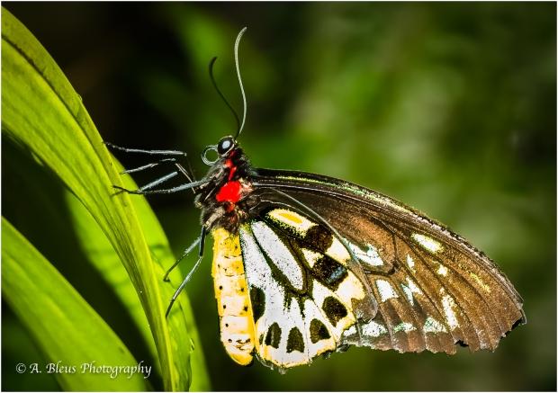 Posing Butterfly _93E9941