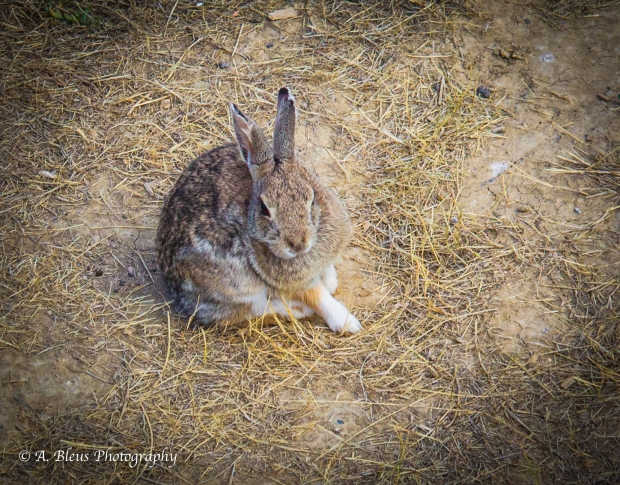 Posing Jack Rabbit Colorado_93E3167