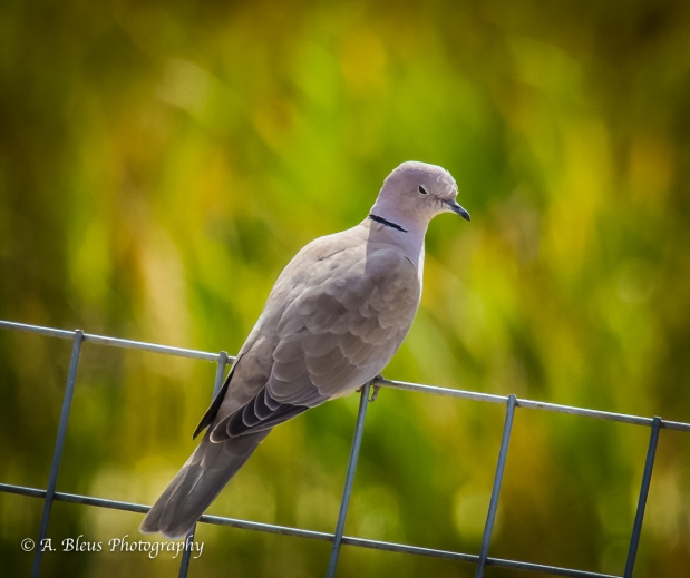 Ringed Turtle-Dove, Co-_93E2888