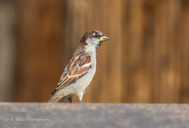 Sparrow Bird, Colorado_93E3315