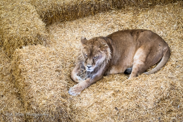 The many faces of a Lion, Wild Sanctuary, Co_93E2968-2
