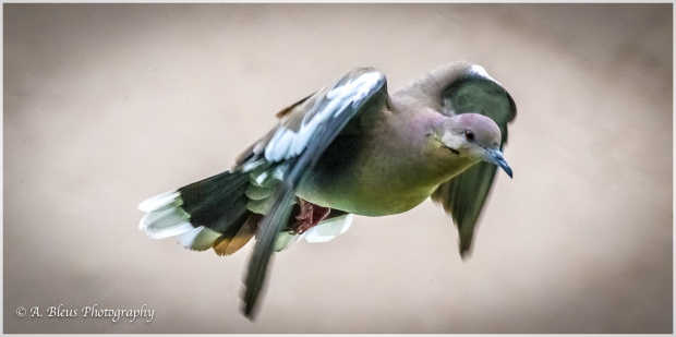 White-winged dove in Flight, 93E5532