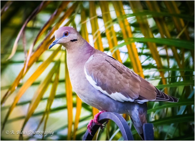 White-winged Dove, MG_7132-2