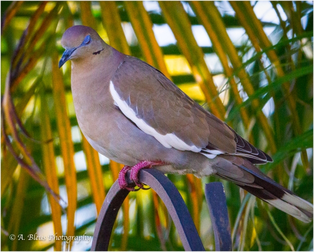 White-winged Dove, MG_7132-3
