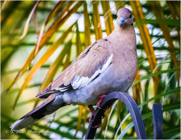 White-winged Dove, MG_7132