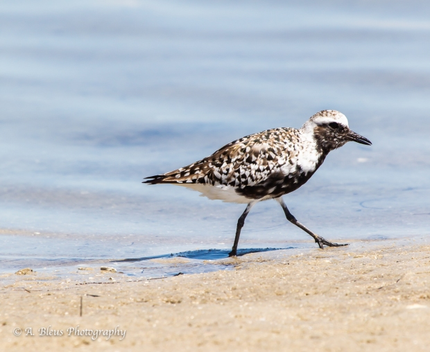 Black-bellied Plover, Fort De Soto, Fl._93E6628-2