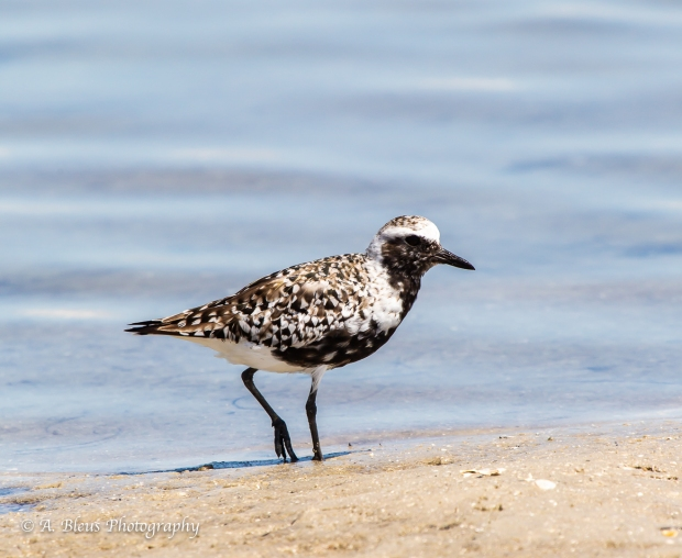 Black-bellied Plover, Fort De Soto, Fl._93E6628-3