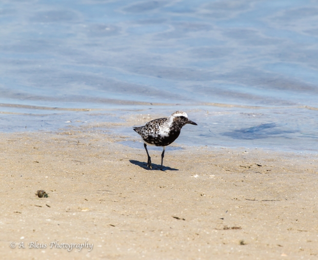 Black-bellied Plover, Fort De Soto, Fl._93E6628