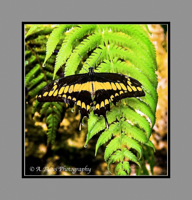Giant Swallowtail Butterfly on a Fern Leaf