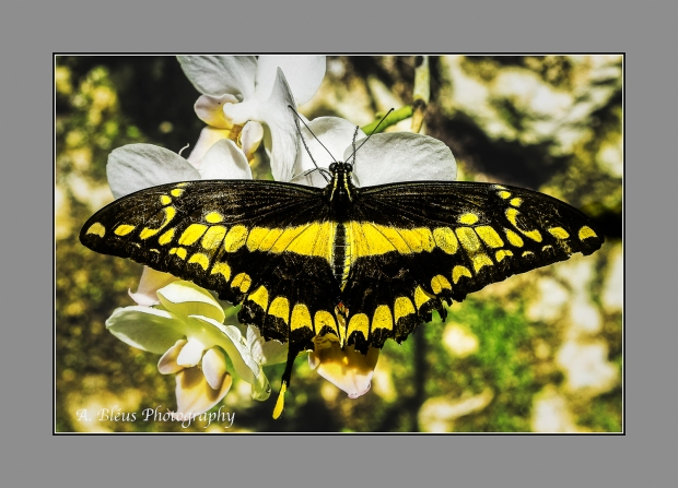 Giant Swallowtail Butterfly on Orchid Flower