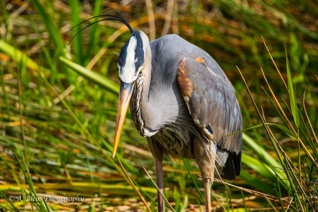 Great Blue Heron in a waiting pose_ 93E6065