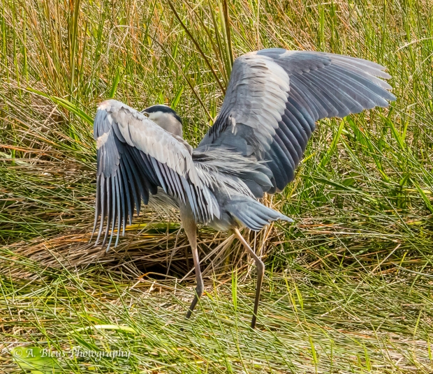 Great Blue Heron ready to fly, IMG_4949-2