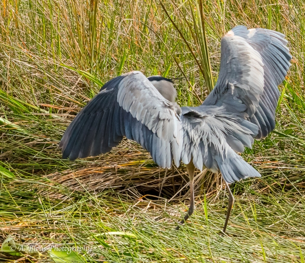 Great Blue Heron ready to fly, IMG_4949