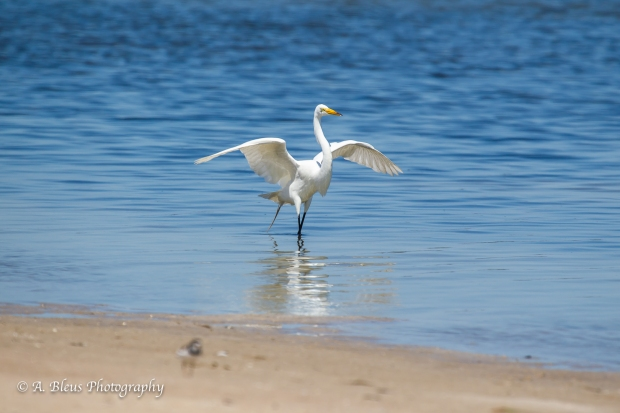 Great Egret, Fort De Soto, Fl._93E6650