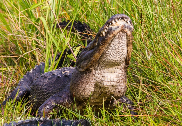 Male Gator showing off, 93E6068-2