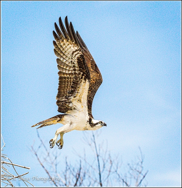 More Osprey in the Air_93E6205