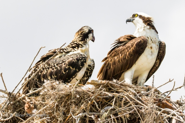 Osprey in nest with Juvenile_93E6099-3