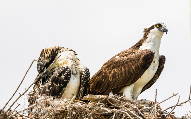 Osprey in nest with Juvenile_93E6099
