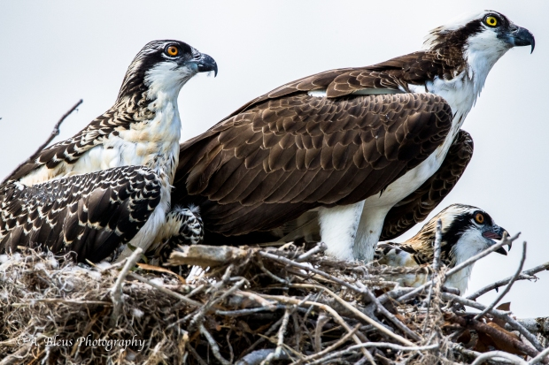 Osprey in nest with Two Juvenile_93E6119-2