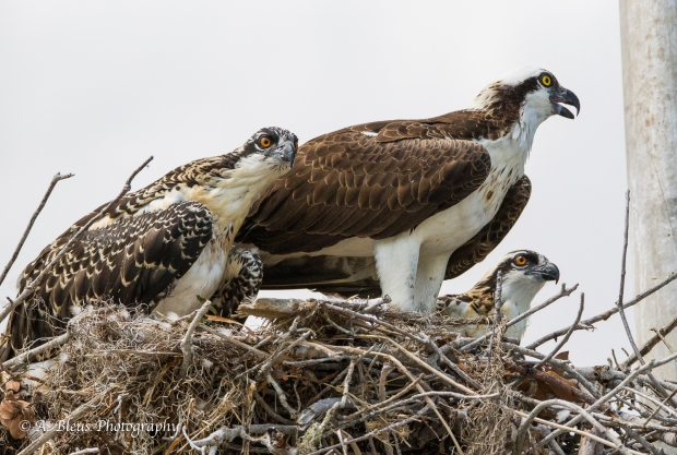 Osprey in nest with Two Juvenile_93E6119-3