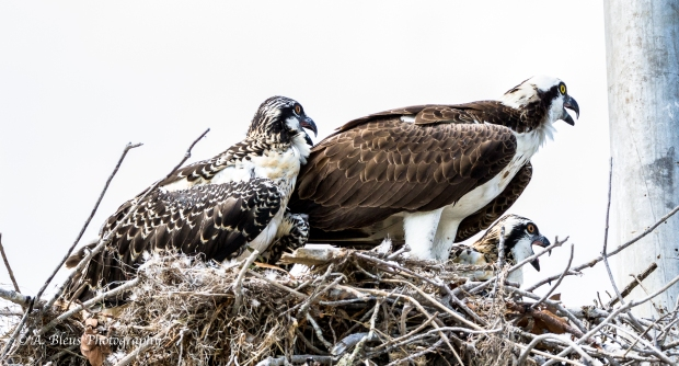 Osprey in nest with Two Juvenile_93E6119