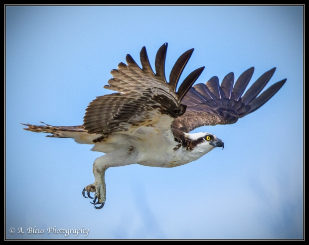 Osprey in the Air_93E6183