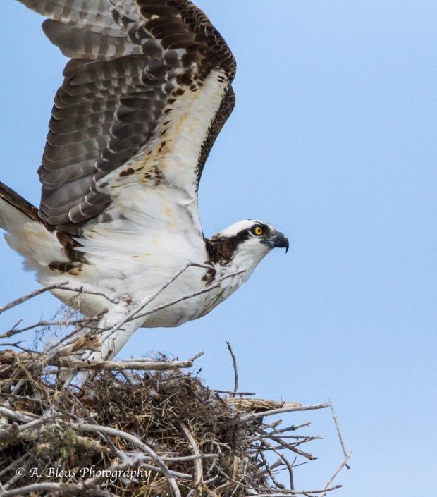Osprey leaving nest_93E6175-2