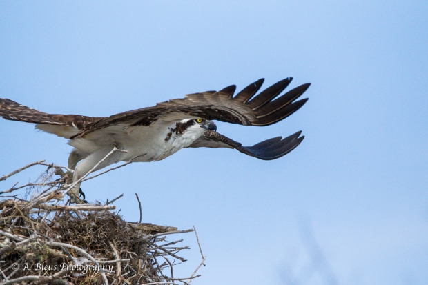 Osprey leaving nest_93E6175-3