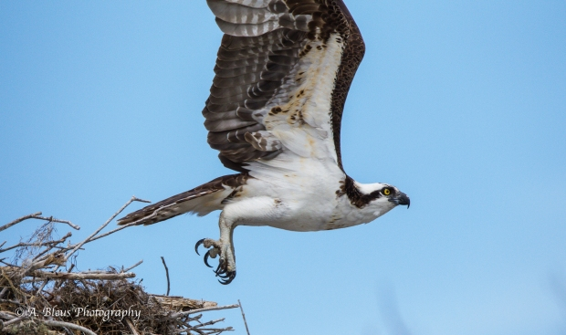 Osprey leaving nest_93E6175-4