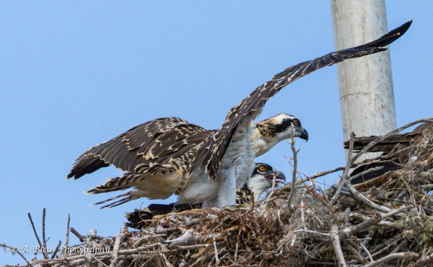 Osprey leaving nest_93E6175
