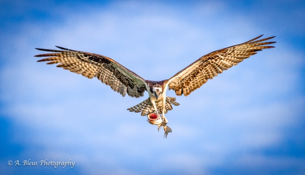 Osprey with Fish, MG_2046