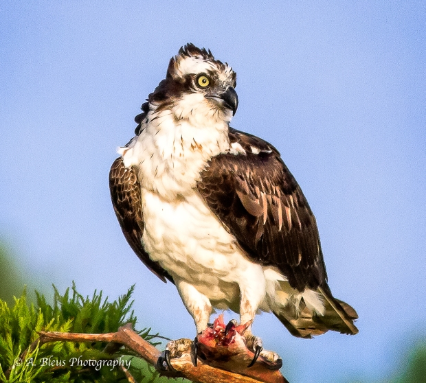 Osprey with prey, MG_1990
