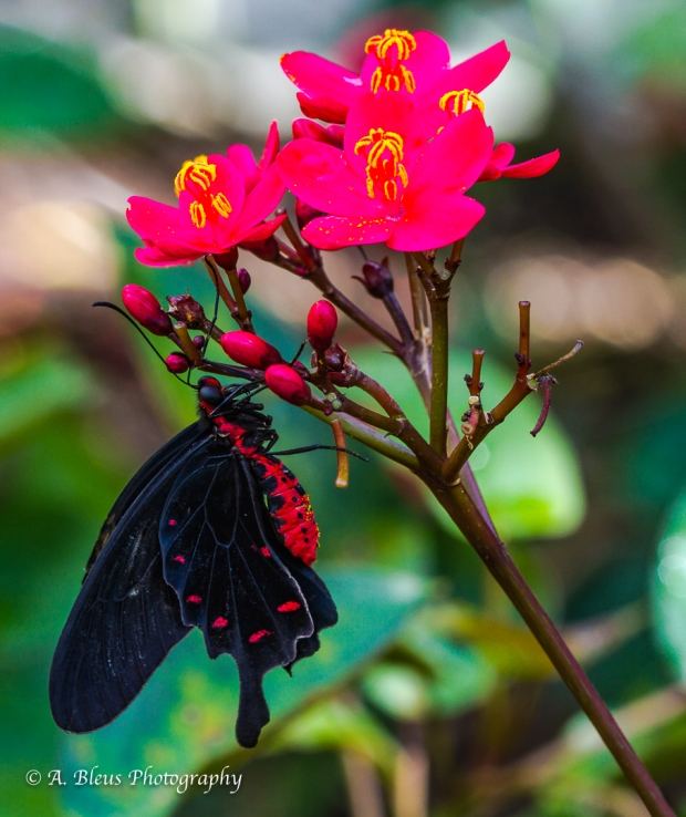 Red-bodied Swallowtail Butterfly on Red Flower, IMG_5099