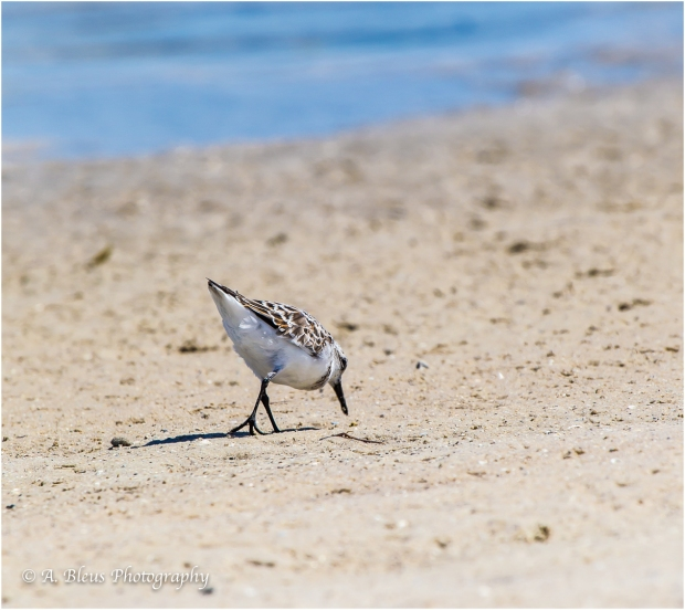 Sanderling Bird, Fort De Soto, Fl._93E6634-2