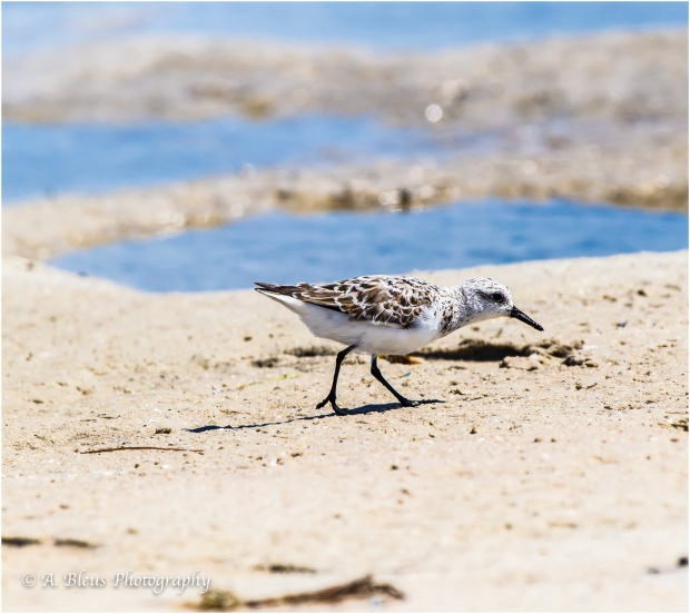 Sanderling Bird, Fort De Soto, Fl._93E6634