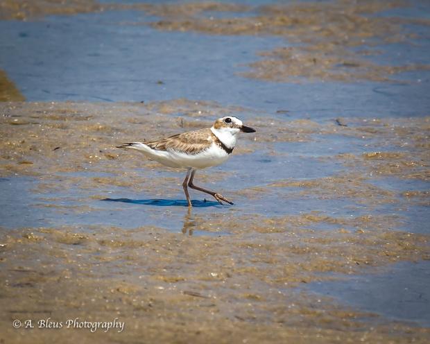 Semipalmated Plover, Fort De Soto Park, Fl._93E6608