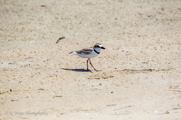 Semipalmated Plover walking on the beach, Fort De Soto Park, Fl._93E6613-2