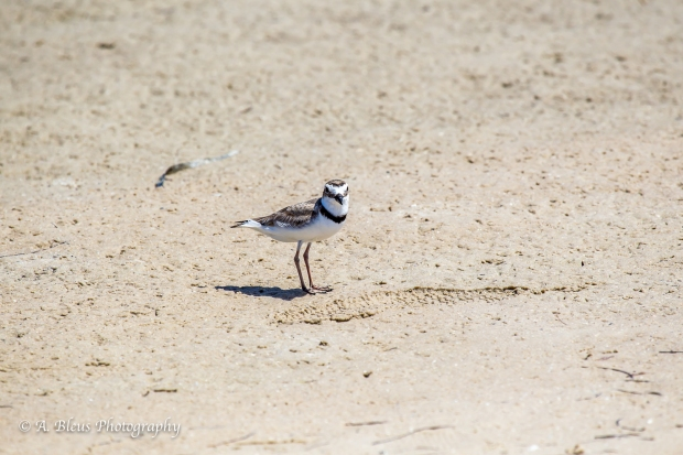 Semipalmated Plover walking on the beach, Fort De Soto Park, Fl._93E6613-3