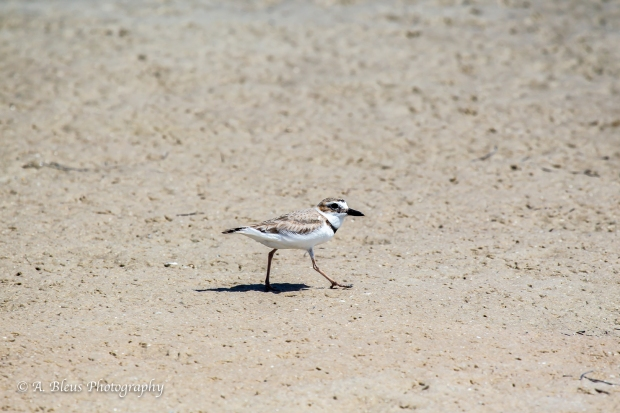 Semipalmated Plover walking on the beach, Fort De Soto Park, Fl._93E6613