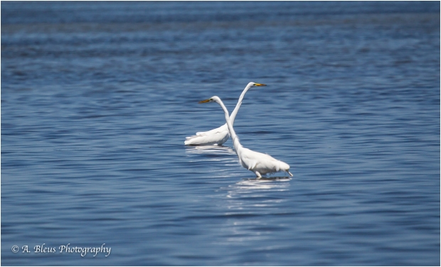 Two Great Egrets, Fort De Soto, Fl._93E6663