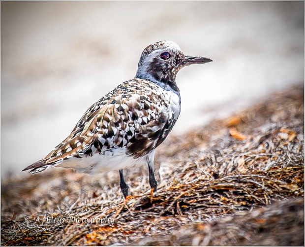 Black-bellied Plover, Fort De Soto_93E6734-3