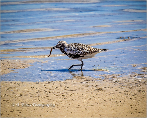 Black-bellied Plover with a catch, Fort De Soto_93E6597