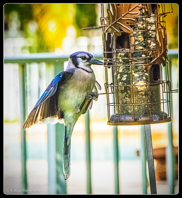 Blue Jay on Feeder, IMG_4841