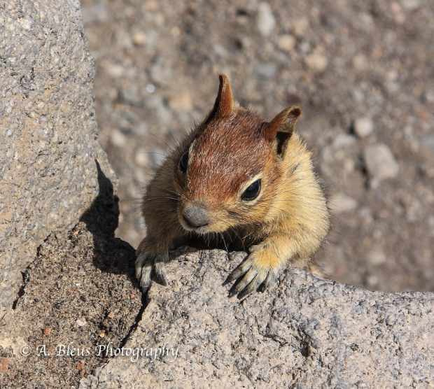 Chipmunk - Crater Lake Nat. Park, Oregon_50064