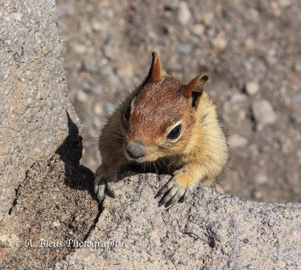 Chipmunk - Crater Lake Nat. Park, Oregon_50064