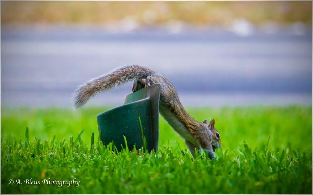 Eastern Gray Squirrel _93E6429-2
