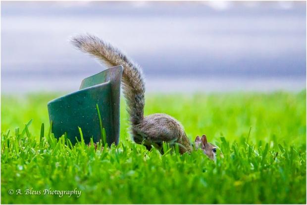 Eastern Gray Squirrel _93E6429-3